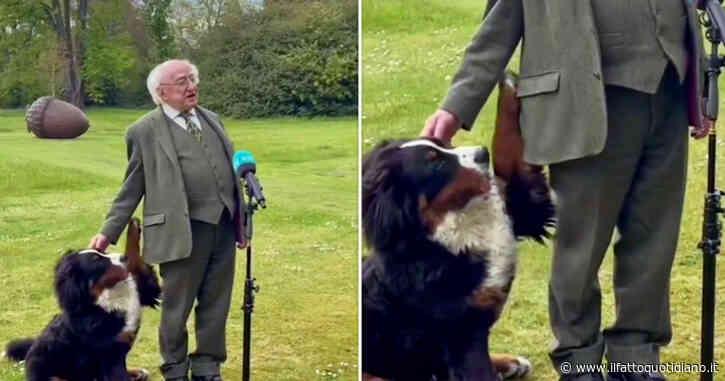 Il presidente d'Irlanda parla in diretta, ma il suo bovaro del bernese gli ruba la scena – Video