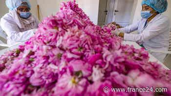 La dura labor de las recolectoras de rosas en Marruecos - FRANCE 24