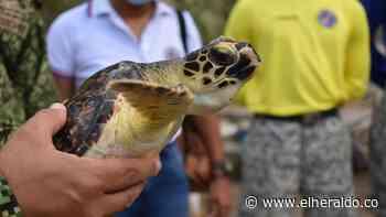Pescadores y militares preservan la tortuga marina en Coveñas - EL HERALDO
