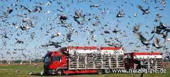 Hobby: Mit 6600 Tauben in die neue Flugsaison gestartet - Nordwest-Zeitung