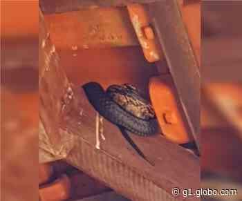 Agentes capturam serpente em forro de casa em Botucatu - G1