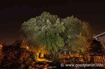 L'appel à préserver le chêne bicentenaire de Castelnau-le-Lez - GoodPlanet mag' - Magazine GoodPlanet