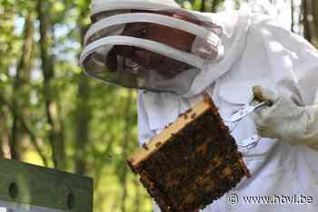 Van zilver naar goud: Beringen wil nog bijenvriendelijker worden - Het Belang van Limburg