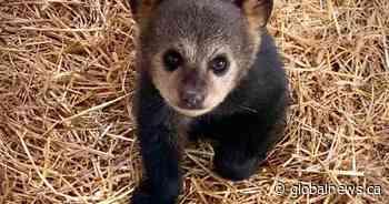 Black bear cubs rescued near Lac du Bonnet - Global News