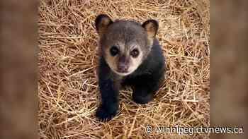 Two black bear cubs rescued from Lac du Bonnet area - CTV News Winnipeg