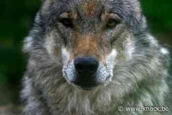 Nieuwe wolf in Kalmthoutse Heide