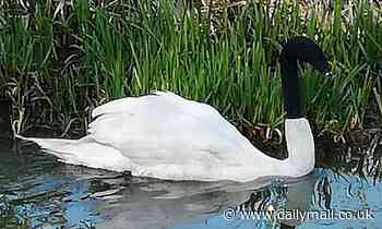 Police and RSPCA hunt sick jokers who put a SOCK over a swan's head and left it in misery