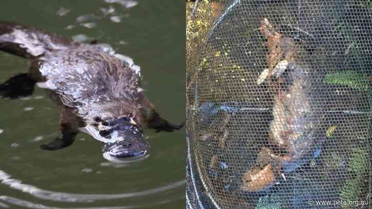 Another Platypus Killed in a Yabby Trap in Queensland – Sign the Petition Now!
