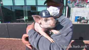 St. Paul Saints ball pig's name has a Bill Murray connection - FOX 9