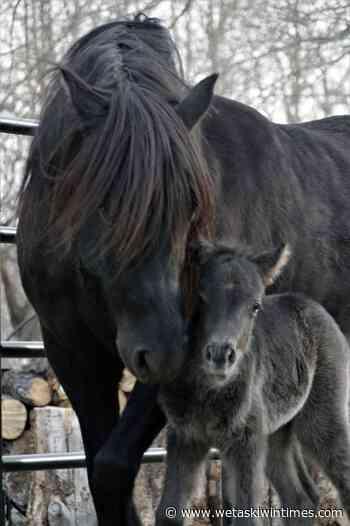 Local ranchers saving Newfoundland Ponies - Wetaskiwin Times Advertiser