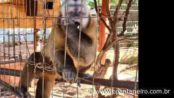 Macacos, jabutis e papagaios: 'zoológico' ilegal matinha 29 animais em cativeiro em MS - O Pantaneiro