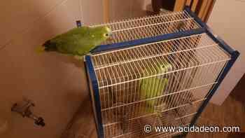 Polícia Ambiental flagra papagaios em cativeiro ilegal no Aracê - ACidade ON