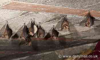 Health warning issued after a deadly virus is detected among a group of bats in western Sydney