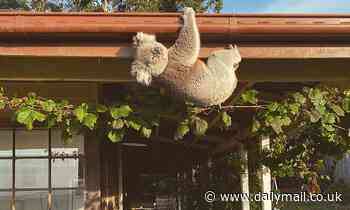 Mother-of-two shocked to discover a mischievous koala hanging upside down from her roof