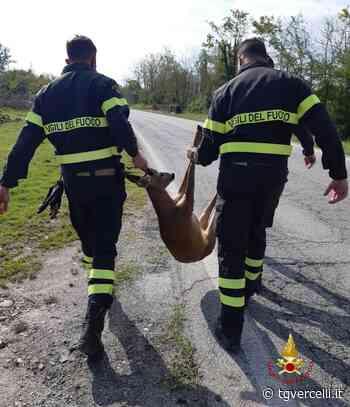 Due caprioli finiti in un canale a Saluggia salvati dai Vigili del Fuoco - tgvercelli.it