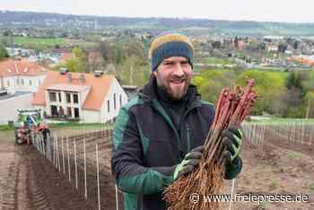 Weine wie aus dem Beaujolais: In Sachsen wächst jetzt Gamay - Freie Presse