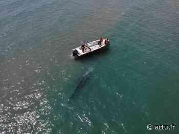 Près de Montpellier. Palavas-les-Flots : le bébé baleine grise égaré serait blessé - actu.fr
