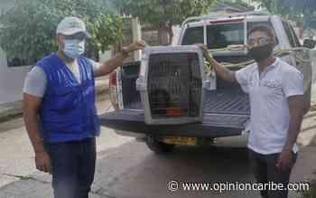 En Aracataca rescataron oso hormiguero para entregarlo a Corpamag - Opinion Caribe