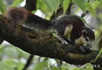 In aumento la popolazione degli scoiattoli tailandesi ad Acqui Terme - Telecity News 24