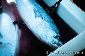 Un carico di tonni in porto a Cesenatico VIDEO - LivingCesenatico.it - Livingcesenatico