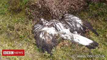 Golden eagle poisoning probed by police in Aberdeenshire