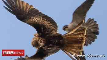 Norwich peregrine falcons caught in battle with red kite