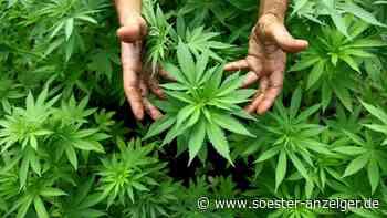 Nur durch dummen Zufall bei Cannabis-Ernte erwischt? Sassendorfer schweigen - soester-anzeiger.de