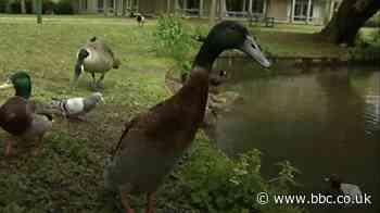 Long Boi: York university duck becomes social media star