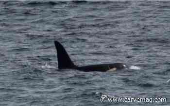 Orca(s) spotted off west Cornwall - Carvemag.com - Carve Magazine