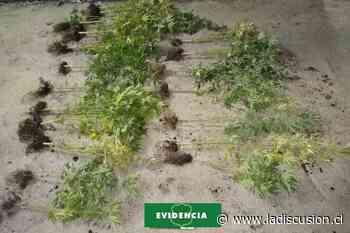 Incautan plantas de cannabis en invernadero clandestino en Yungay - La Discusión