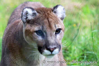 2 cougars killed following attack on woman in Agassiz area - Creston Valley Advance