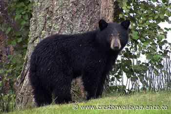 WildSafeBC: How to avoid bear encounters - Creston Valley Advance