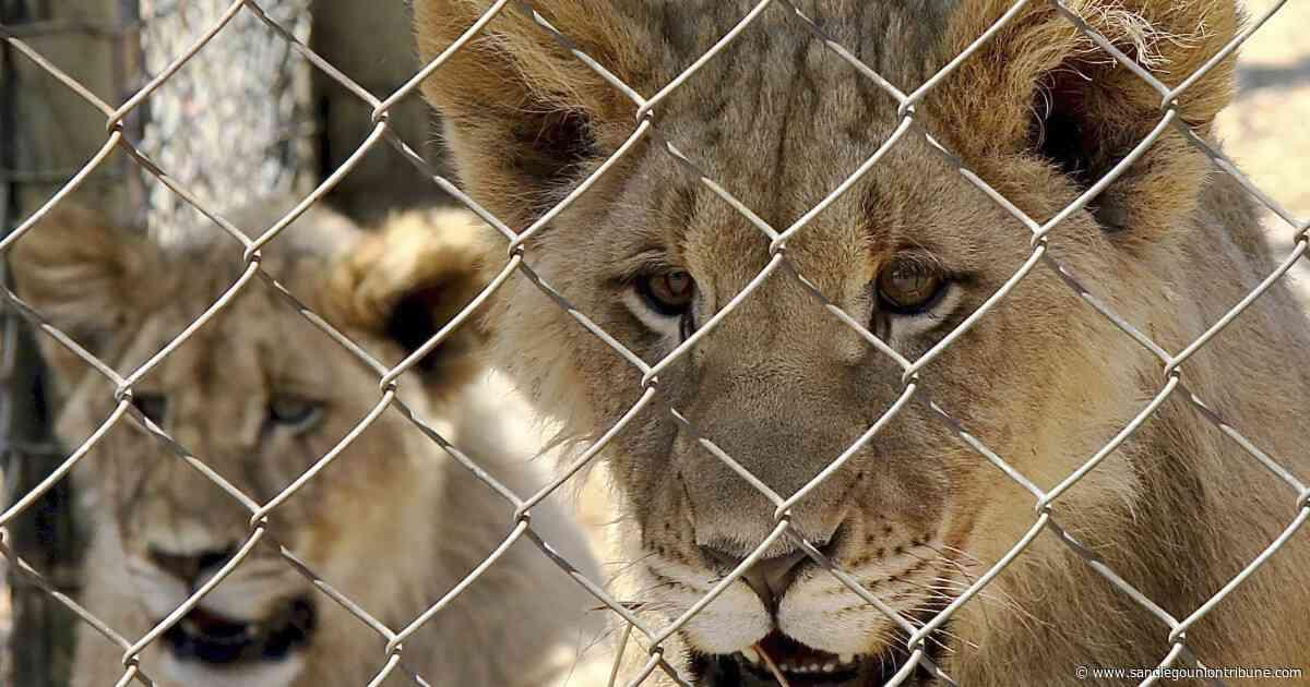 Sudáfrica pondría fin a la industria de los leones cautivos - San Diego Union-Tribune en Español