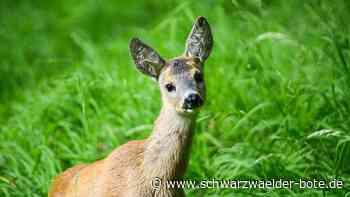 Drei tote Rehe in Schiltach - Spuren deuten auf wildernde Hunde hin - Schwarzwälder Bote