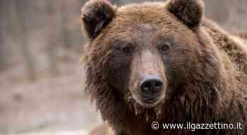 Orso si aggira nella zona di Marlengo e sbrana gli animali degli allevamenti: l'ultima vittima... - Il Gazzettino