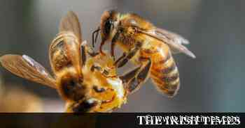 Dutch scientists train bees to detect coronavirus - The Irish Times