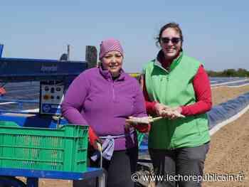 L'asperge blanche d'Ablis, dans les Yvelines, se vend directement à la ferme - Echo Républicain