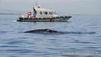 De Leucate à Cerbère, Waly le baleineau a longé la côte - L'Indépendant