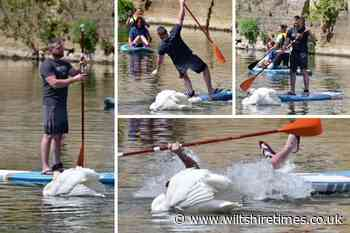 Swan tips paddle boarder into the river at Bradford on Avon after he got too close to its nest - Wiltshire Times