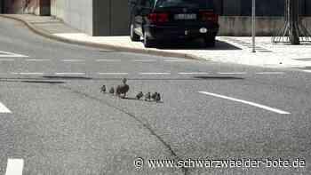 In Oberndorf geht's tierisch zu - Entenfamilie watschelt über Straße - Schwarzwälder Bote