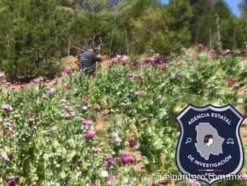 Destruye AEI plantío de amapola en Guadalupe y Calvo - El puntero