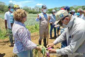 Gobierno comprará cebolla a los productores de Natá, afectados por crecidas del río Chico - La Estrella de Panamá