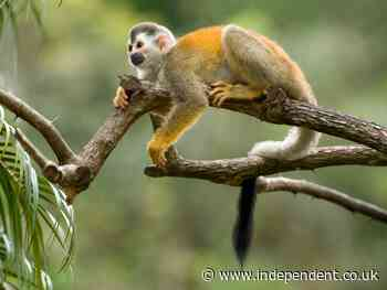 Man tried to steal monkey as a birthday present for his girlfriend