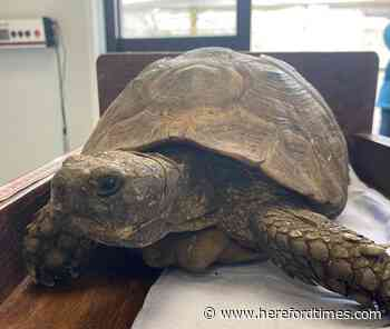 Why 30 tortoises turned up at Herefordshire vets