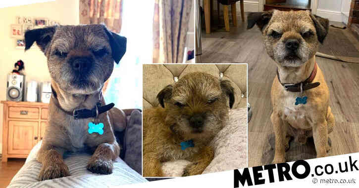 'Grumpy old man' dog with permanent scowl is actually a 'bundle of joy' on the inside