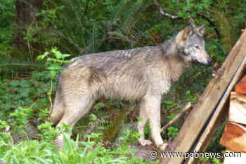 Conservation officers awaiting reports of wolves at the door in Port Hardy – Parksville Qualicum Beach News - Parksville-Qualicum Beach News