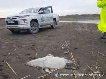 At least 170 endangered seals wash up dead on Caspian coast