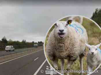 Traffic stopped on M65 due to flock of sheep on carriageway