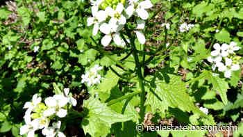 Real Estate Ask the Gardener: This pretty plant invader will disrupt your Zen - Boston.com