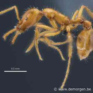 Deze mier kreeg de eerste genderneutrale wetenschappelijke naam